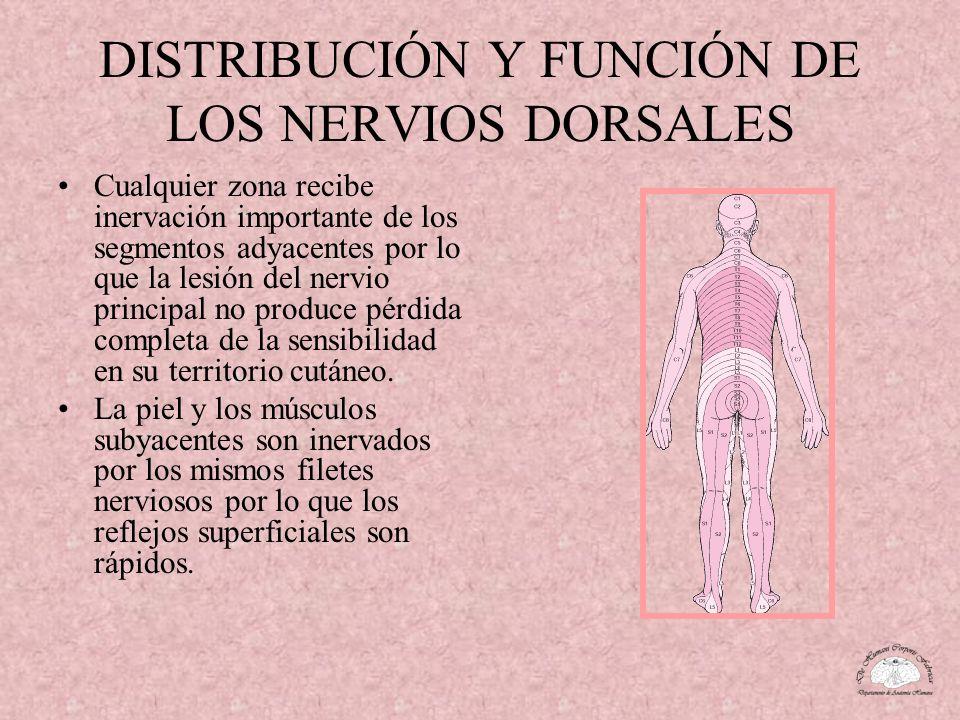 DISTRIBUCIÓN Y FUNCIÓN DE LOS NERVIOS DORSALES