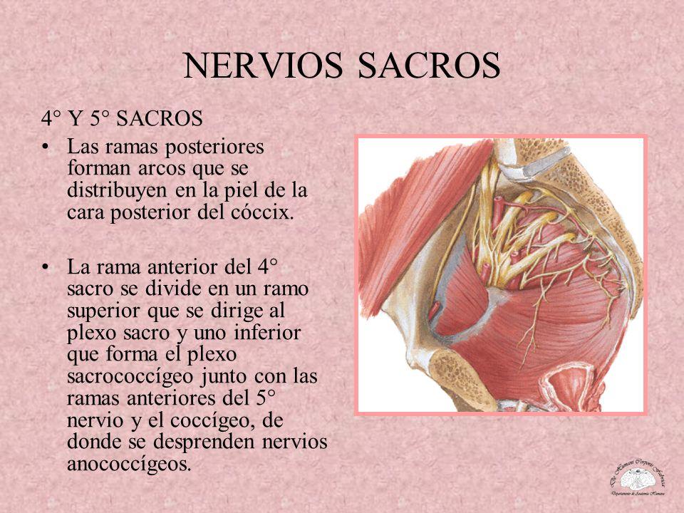 NERVIOS SACROS 4° Y 5° SACROS
