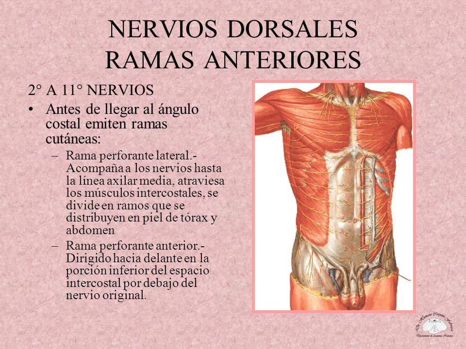 NERVIOS DORSALES RAMAS ANTERIORES