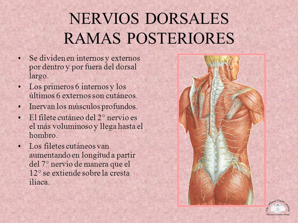 NERVIOS DORSALES RAMAS POSTERIORES