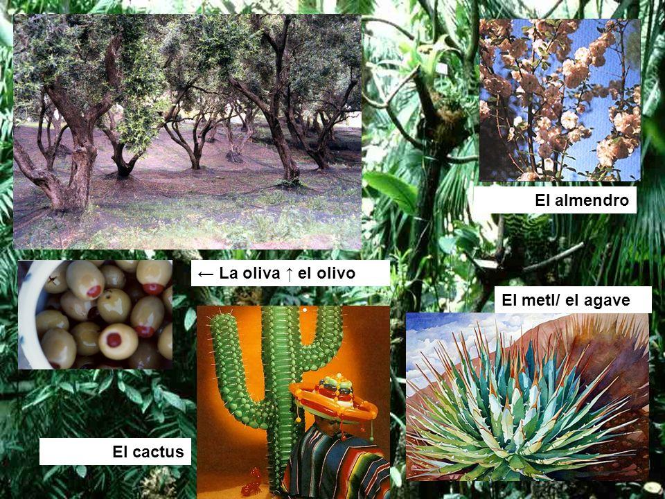 El almendro ← La oliva ↑ el olivo El metl/ el agave El cactus