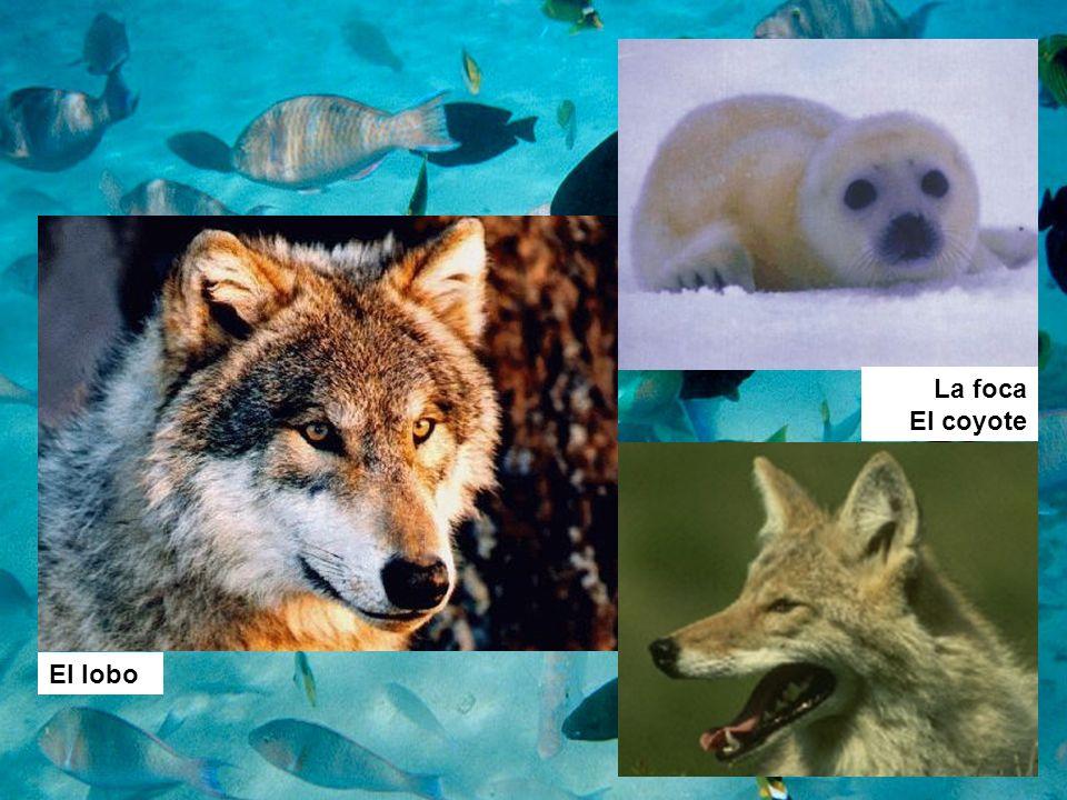La foca El coyote El lobo