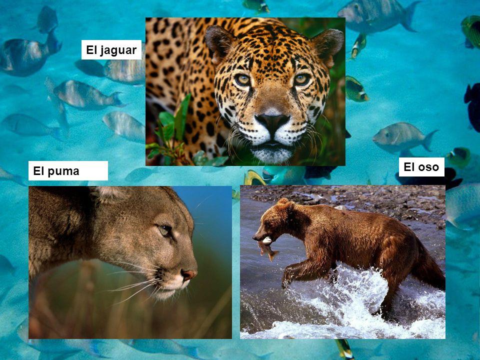 El jaguar El oso El puma