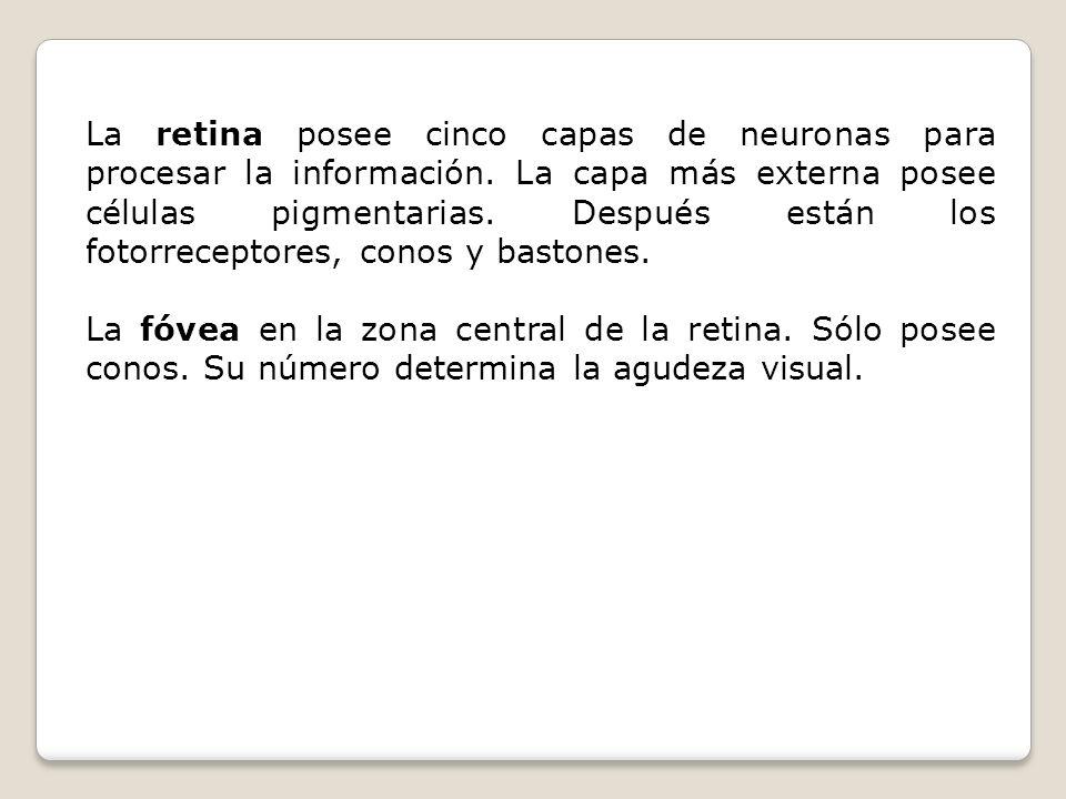 La retina posee cinco capas de neuronas para procesar la información