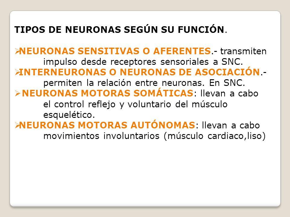TIPOS DE NEURONAS SEGÚN SU FUNCIÓN.