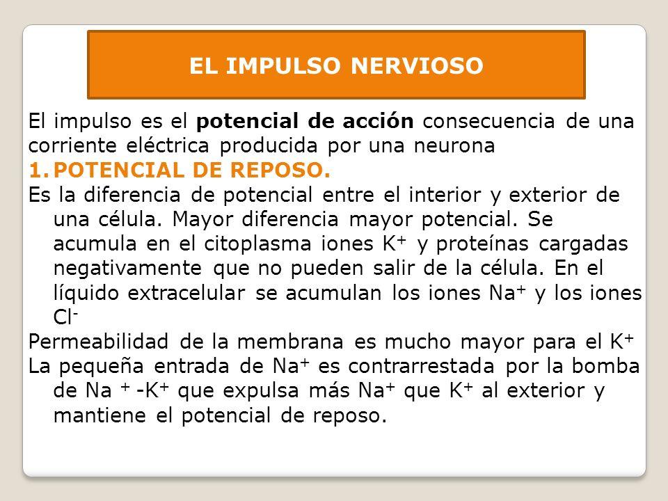 EL IMPULSO NERVIOSO El impulso es el potencial de acción consecuencia de una corriente eléctrica producida por una neurona.