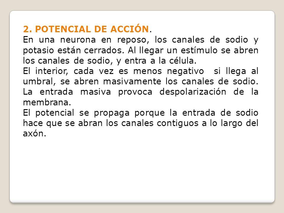 2. POTENCIAL DE ACCIÓN.