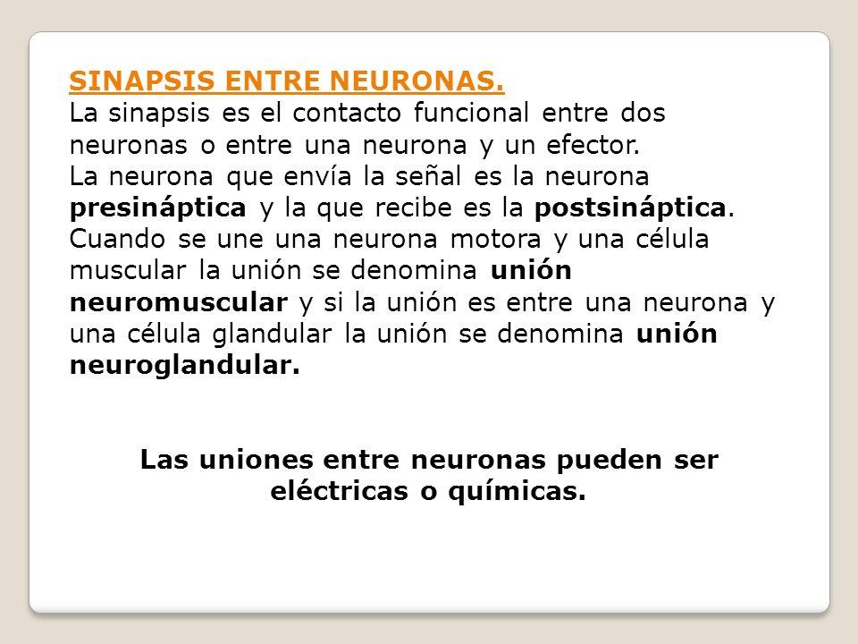 Las uniones entre neuronas pueden ser eléctricas o químicas.