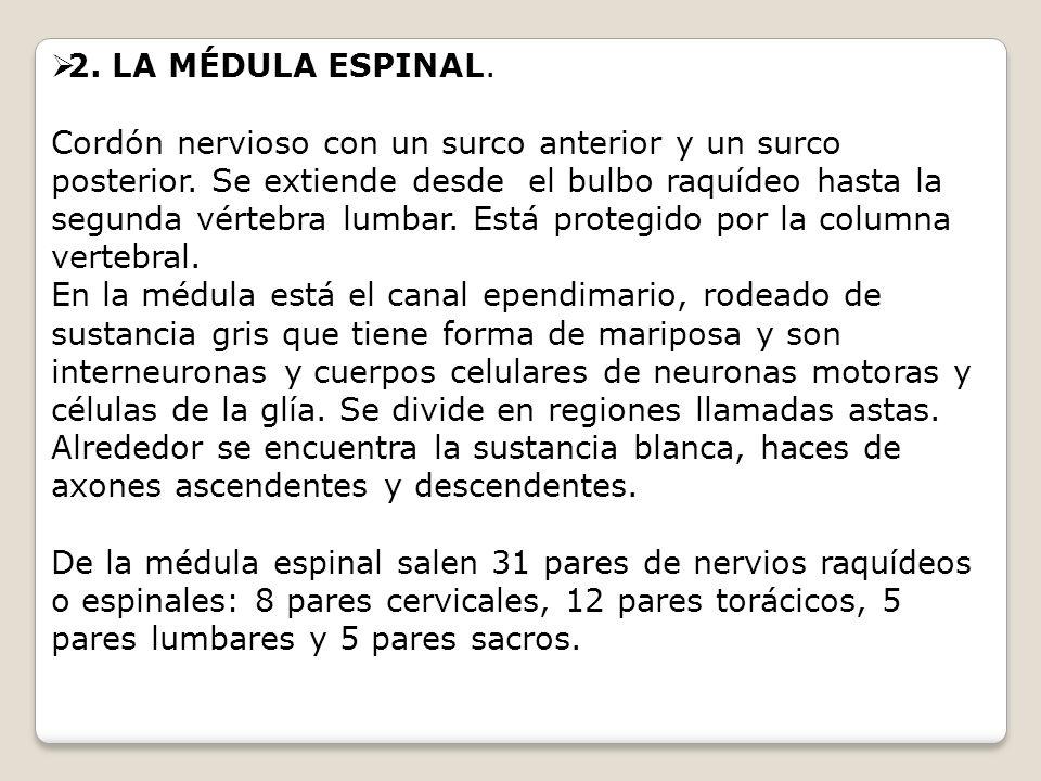 2. LA MÉDULA ESPINAL.