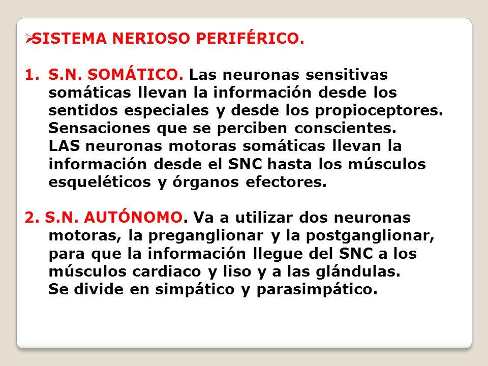 SISTEMA NERIOSO PERIFÉRICO.