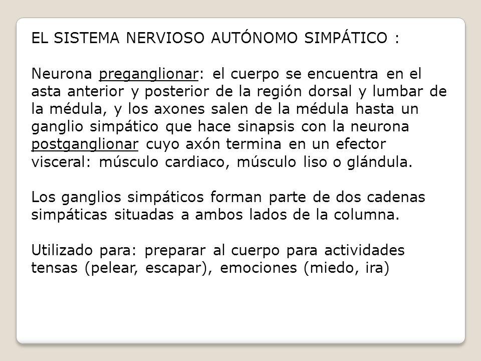 EL SISTEMA NERVIOSO AUTÓNOMO SIMPÁTICO :