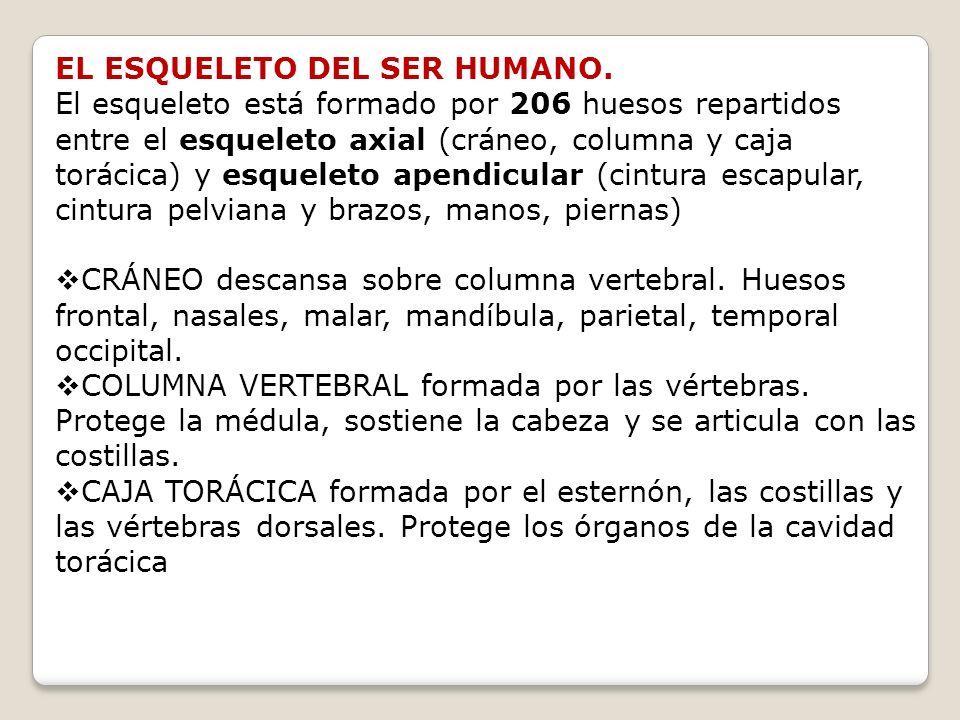 EL ESQUELETO DEL SER HUMANO.