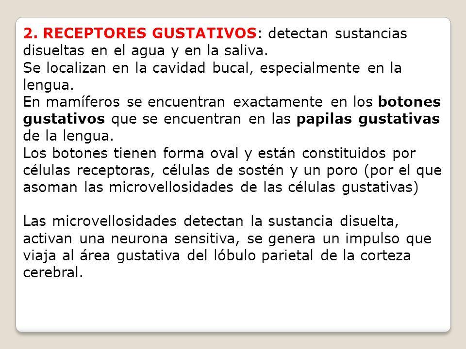 2. RECEPTORES GUSTATIVOS: detectan sustancias disueltas en el agua y en la saliva.