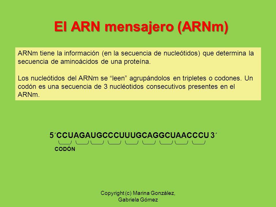 El ARN mensajero (ARNm)