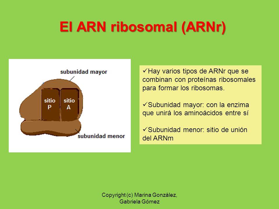 El ARN ribosomal (ARNr)