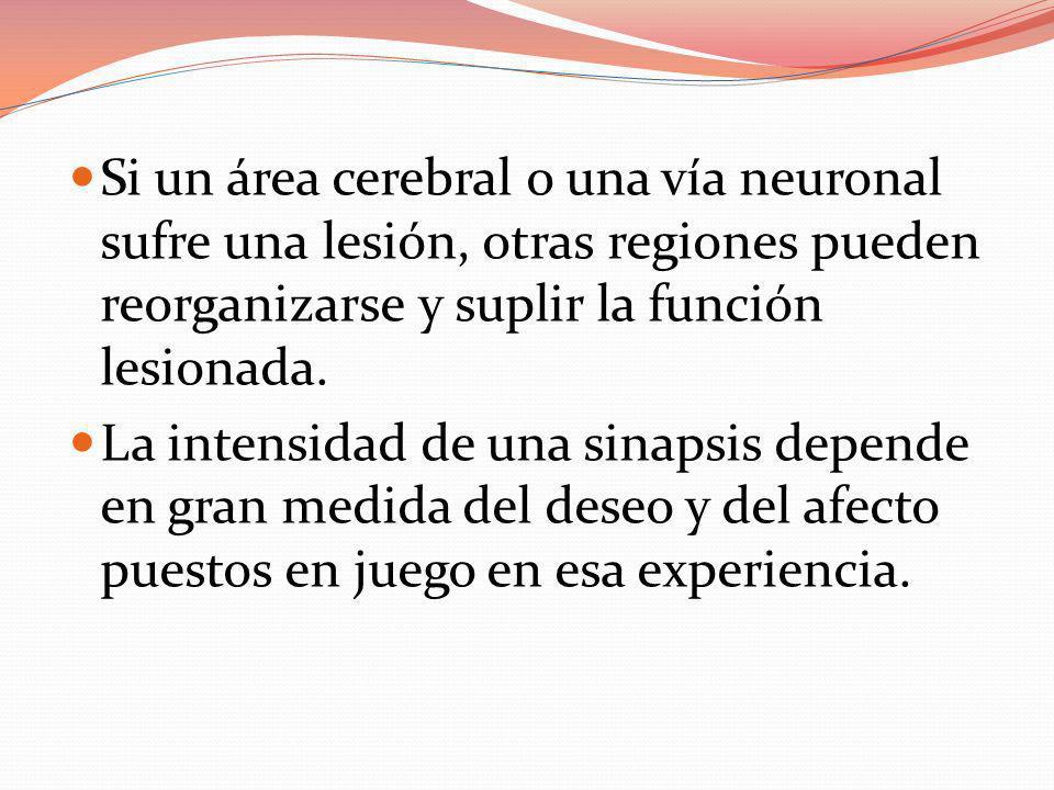 Si un área cerebral o una vía neuronal sufre una lesión, otras regiones pueden reorganizarse y suplir la función lesionada.
