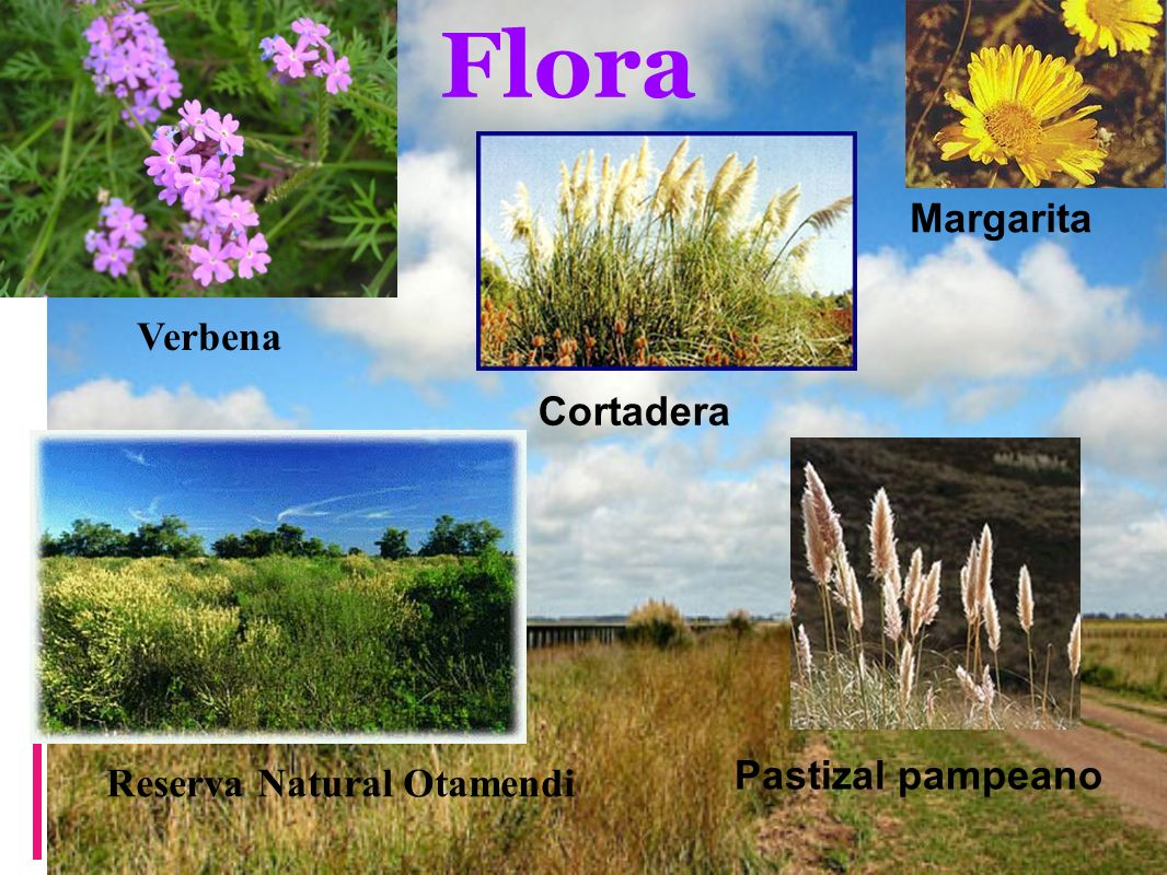 Flora Margarita Verbena Cortadera Reserva Natural Otamendi
