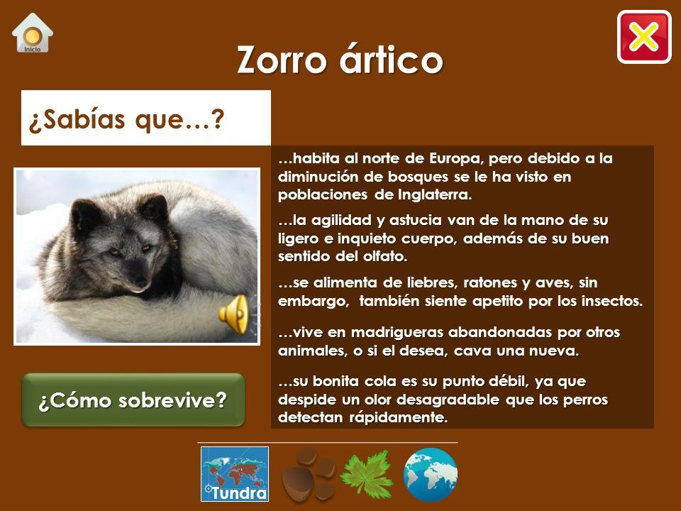 Zorro ártico ¿Sabías que… ¿Cómo sobrevive Tundra