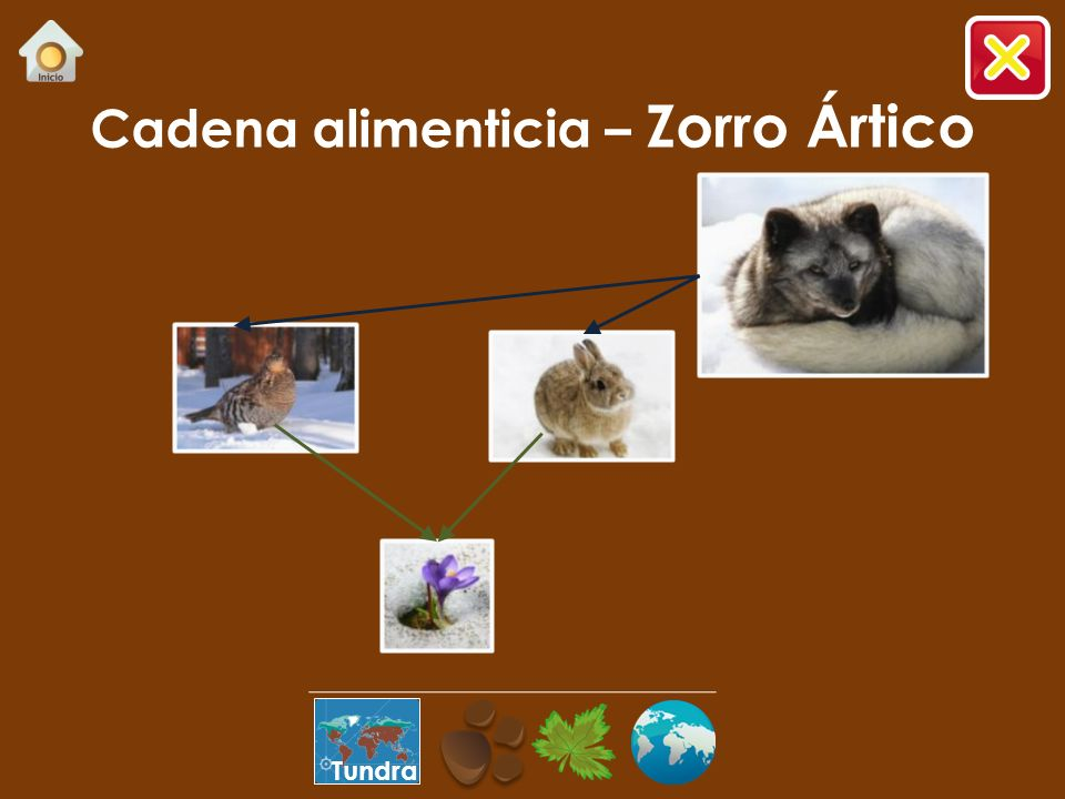 Cadena alimenticia – Zorro Ártico