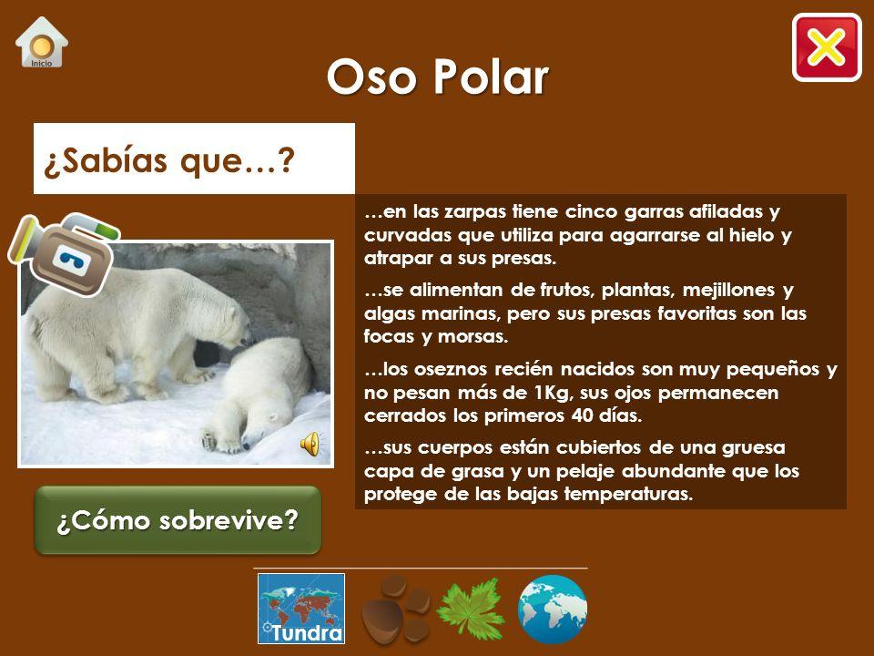 Oso Polar ¿Sabías que… ¿Cómo sobrevive Tundra
