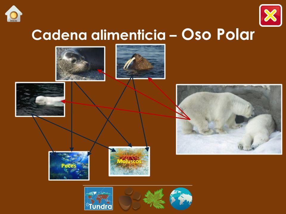Cadena alimenticia – Oso Polar