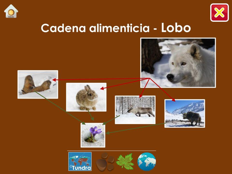 Cadena alimenticia - Lobo