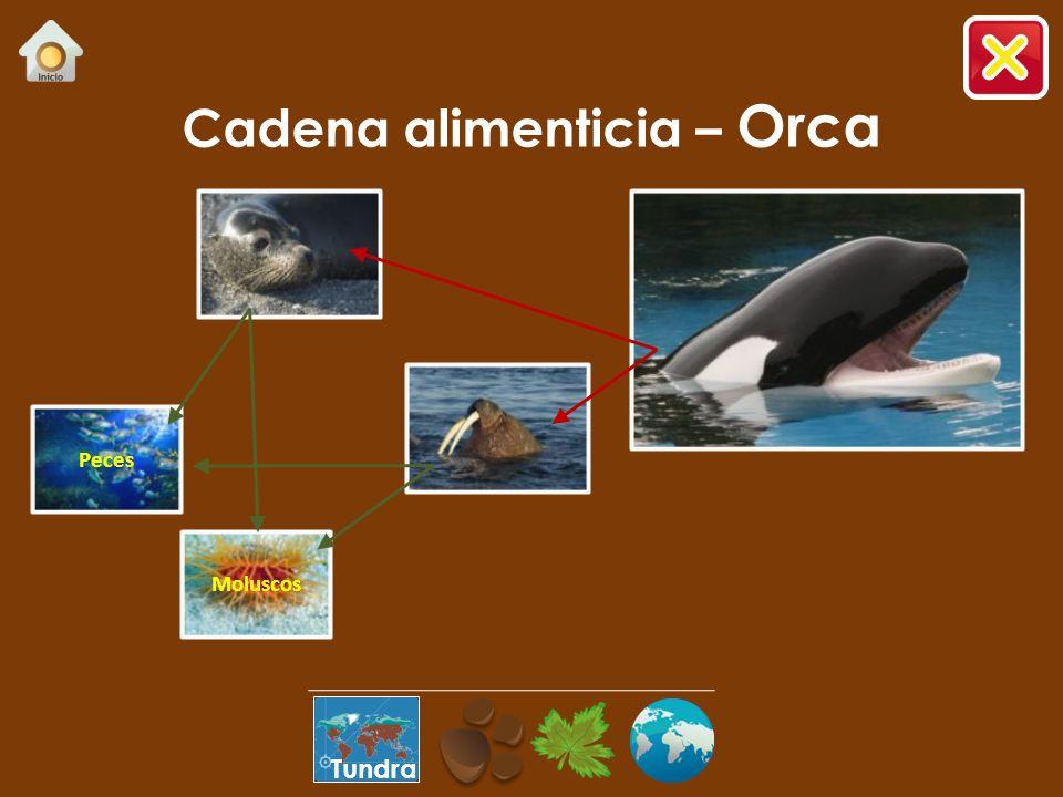 Cadena alimenticia – Orca