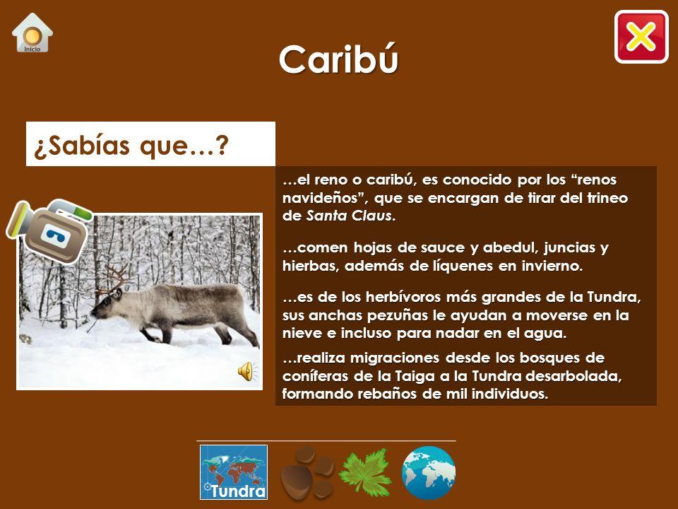 Caribú ¿Sabías que… Tundra