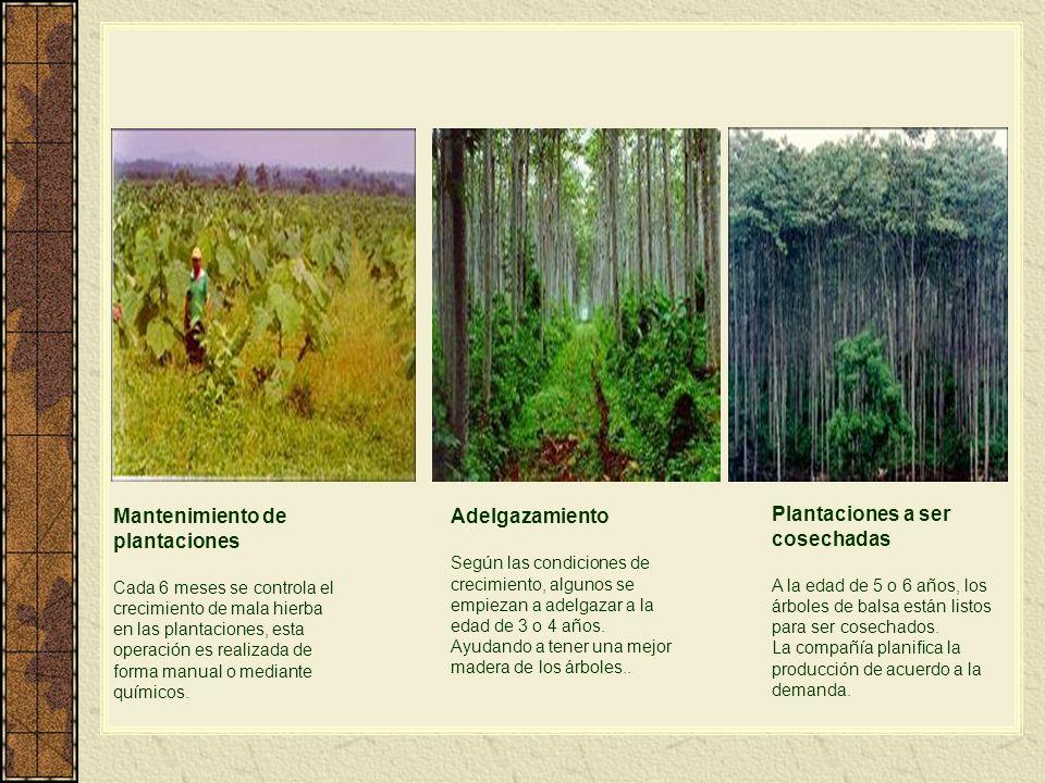 Mantenimiento de plantaciones Adelgazamiento