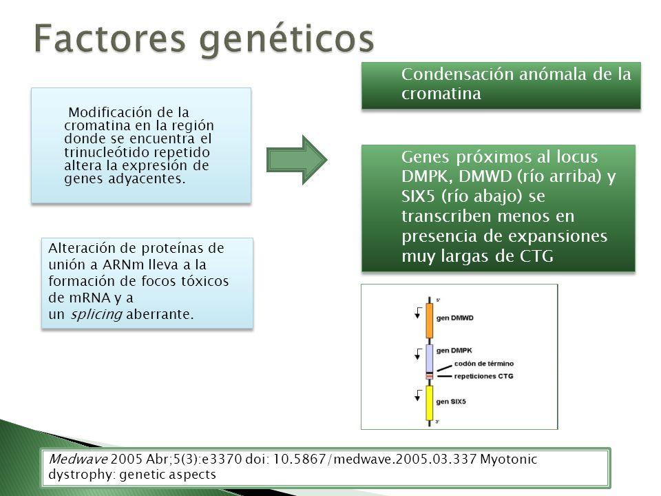 Factores genéticos Condensación anómala de la cromatina