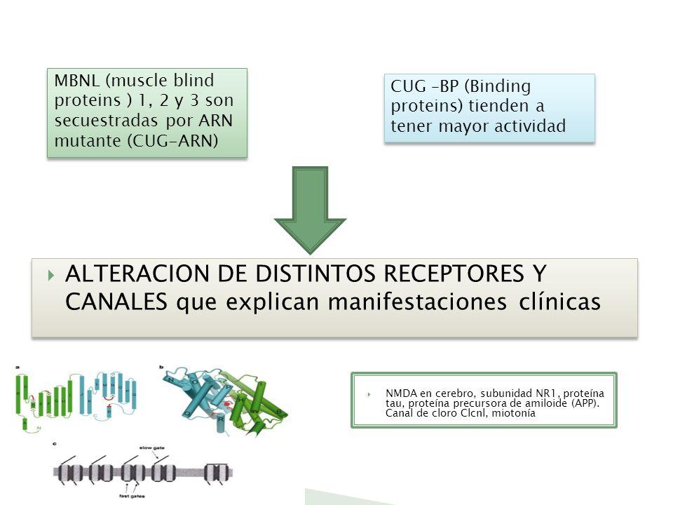 MBNL (muscle blind proteins ) 1, 2 y 3 son secuestradas por ARN mutante (CUG-ARN)