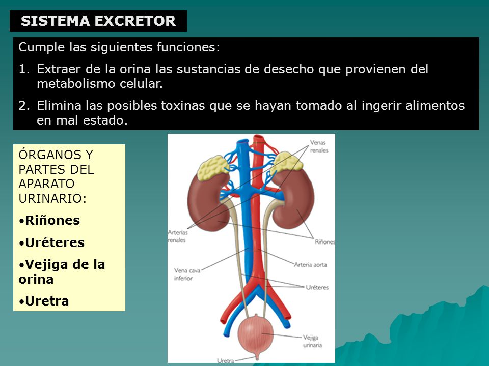 SISTEMA EXCRETOR Cumple las siguientes funciones: