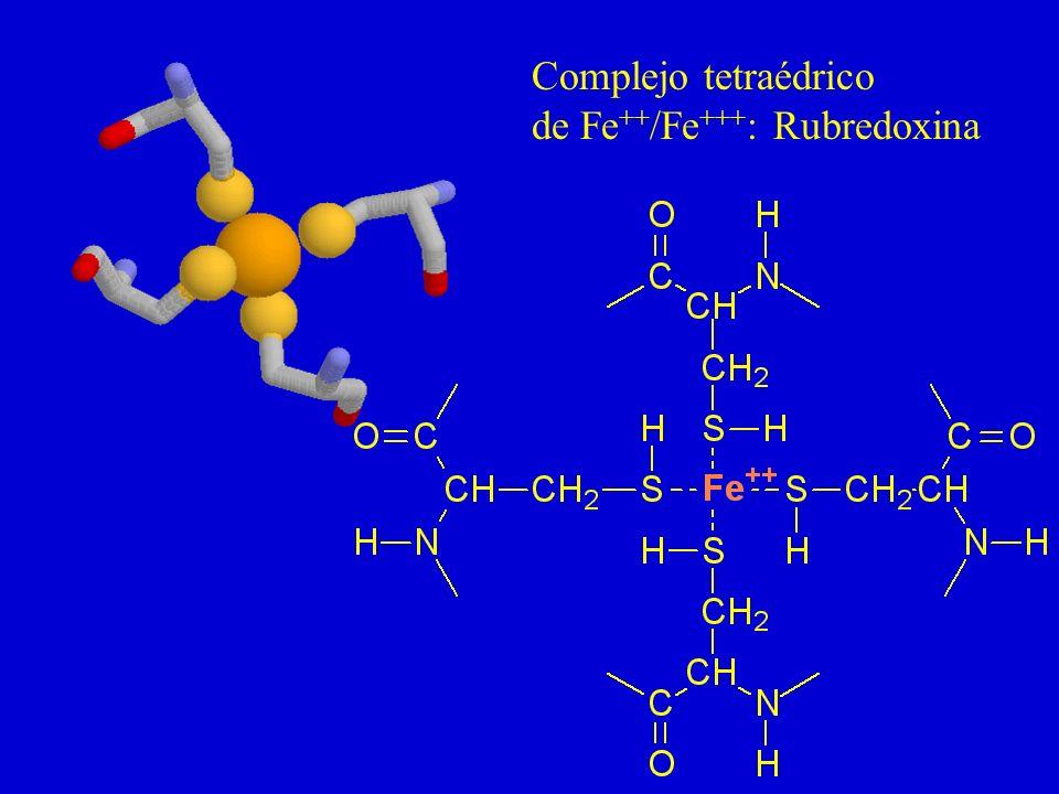 Complejo tetraédrico de Fe++/Fe+++: Rubredoxina