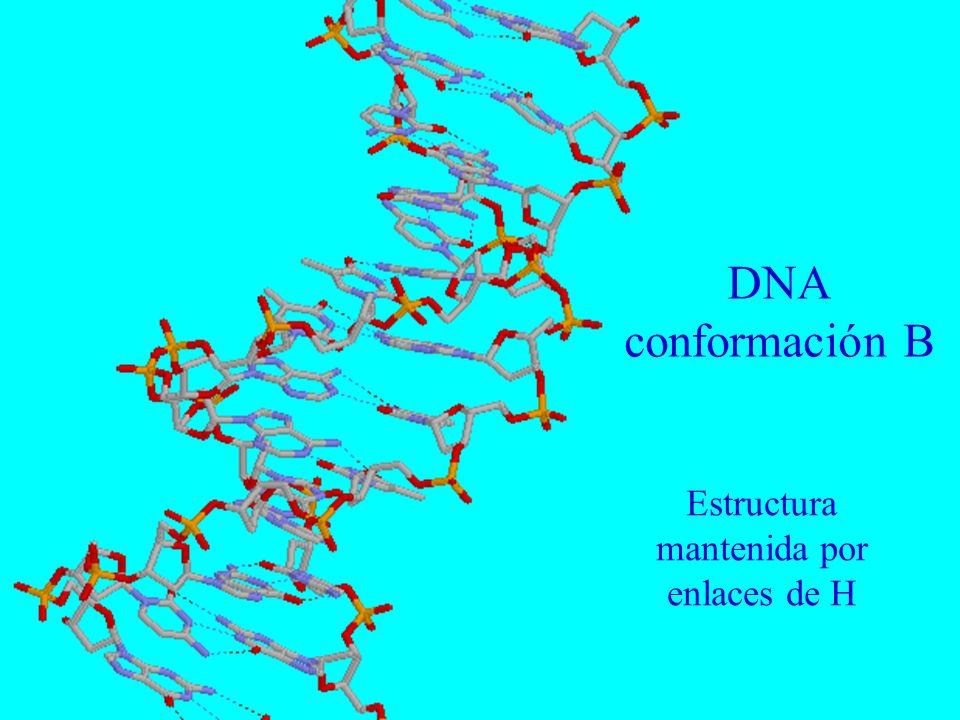 DNA conformación B Estructura mantenida por enlaces de H