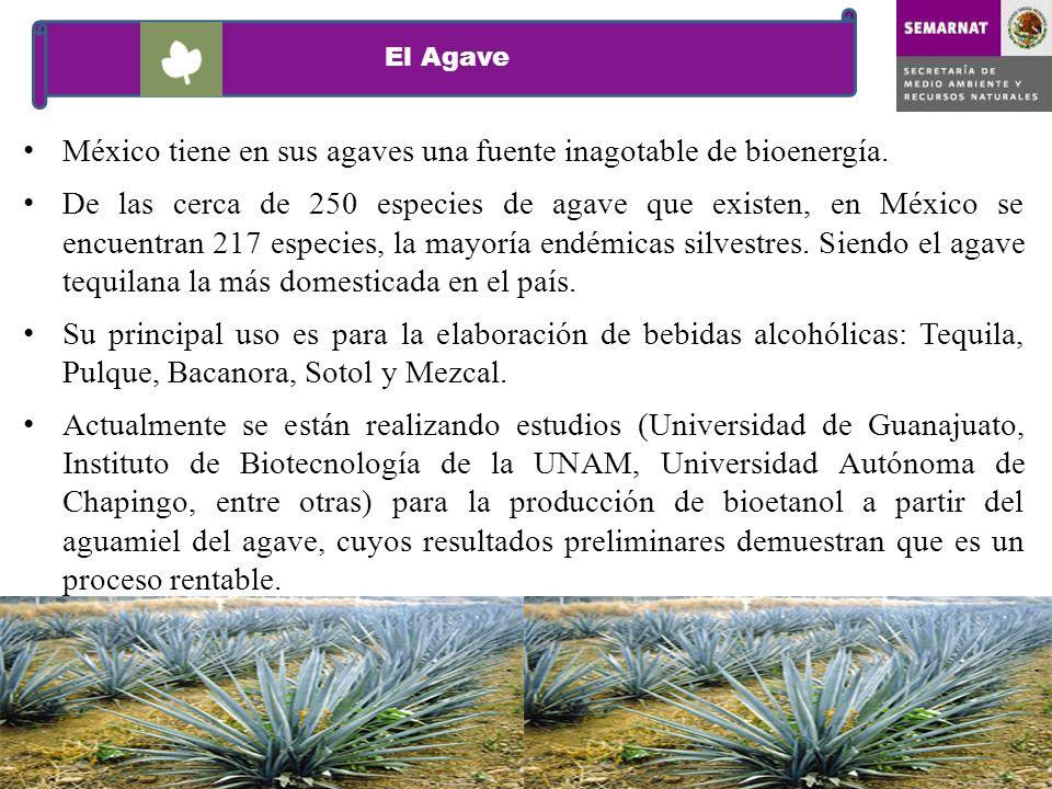 México tiene en sus agaves una fuente inagotable de bioenergía.