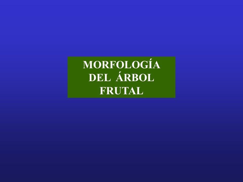 MORFOLOGÍA DEL ÁRBOL FRUTAL