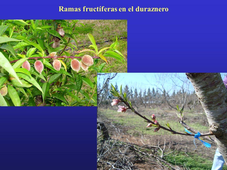 Ramas fructíferas en el duraznero