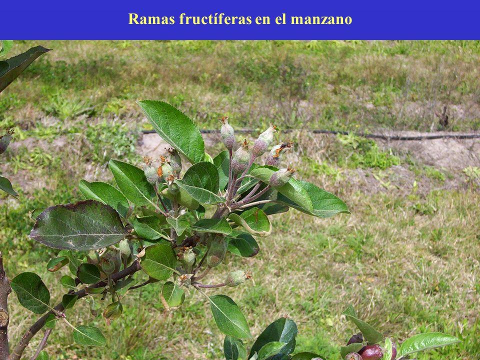 Ramas fructíferas en el manzano