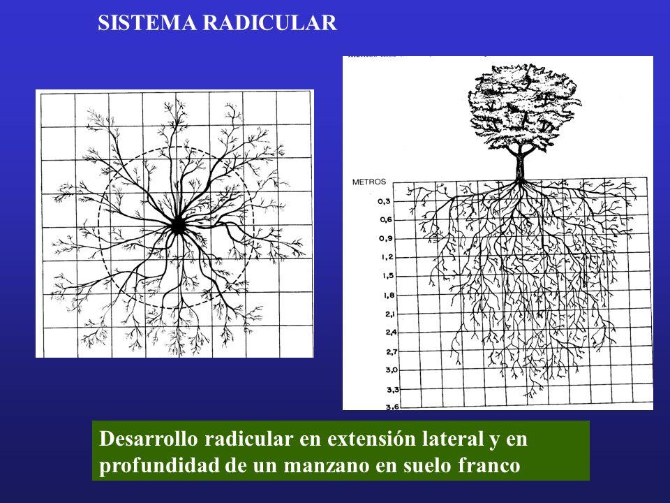 SISTEMA RADICULAR Desarrollo radicular en extensión lateral y en profundidad de un manzano en suelo franco.