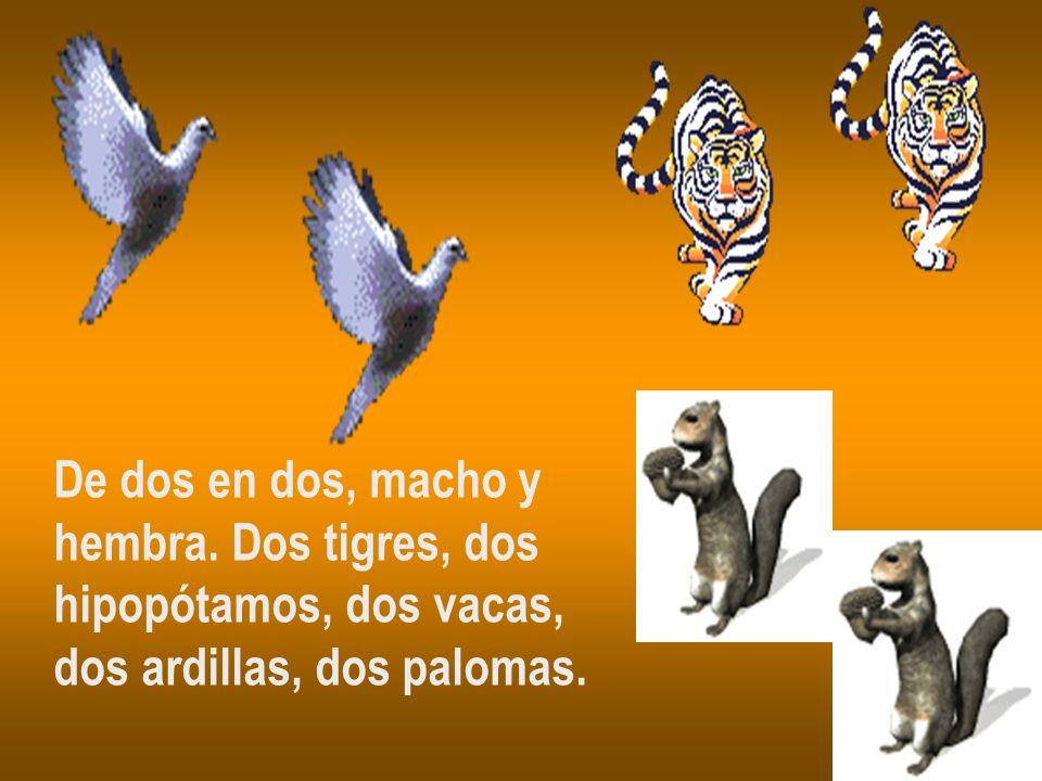 De dos en dos, macho y hembra. Dos tigres, dos hipopótamos, dos vacas, dos ardillas, dos palomas.