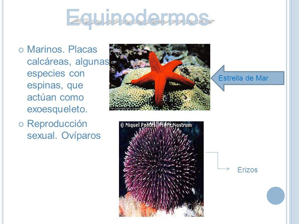 Equinodermos Marinos. Placas calcáreas, algunas especies con espinas, que actúan como exoesqueleto.