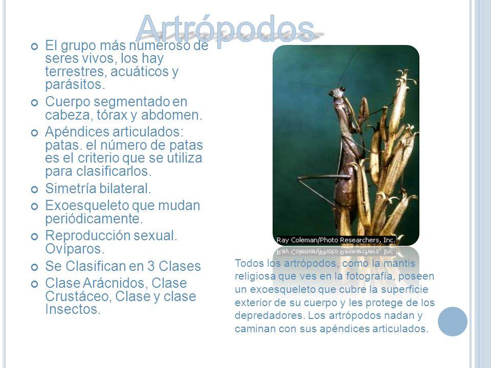 Artrópodos El grupo más numeroso de seres vivos, los hay terrestres, acuáticos y parásitos. Cuerpo segmentado en cabeza, tórax y abdomen.