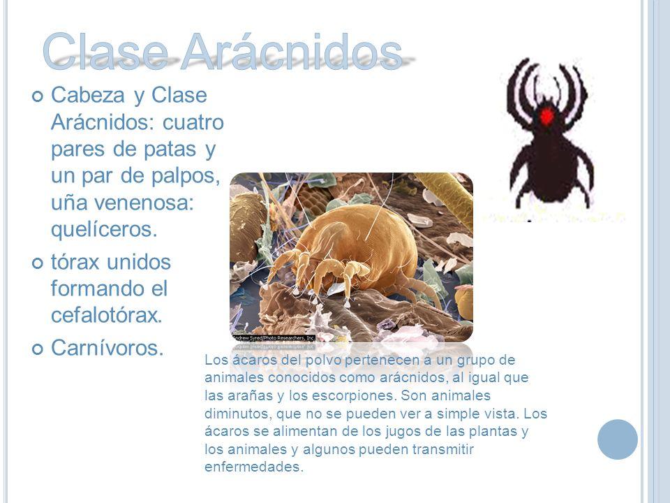 Clase Arácnidos Cabeza y Clase Arácnidos: cuatro pares de patas y un par de palpos, uña venenosa: quelíceros.