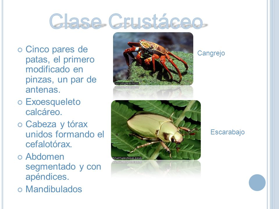 Clase Crustáceo Cinco pares de patas, el primero modificado en pinzas, un par de antenas. Exoesqueleto calcáreo.