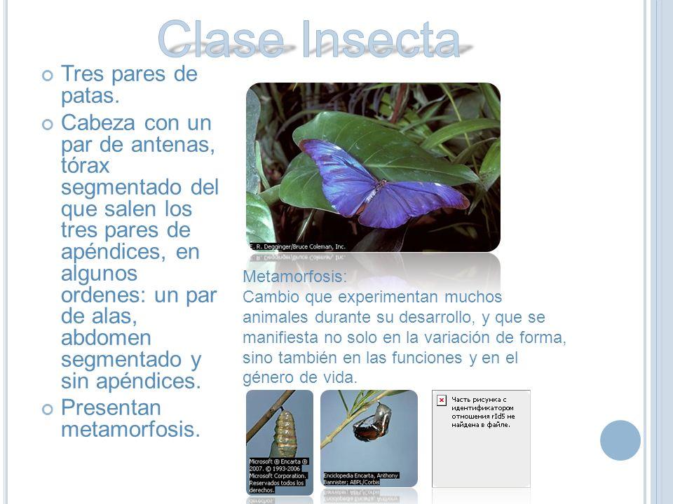 Clase Insecta Tres pares de patas.