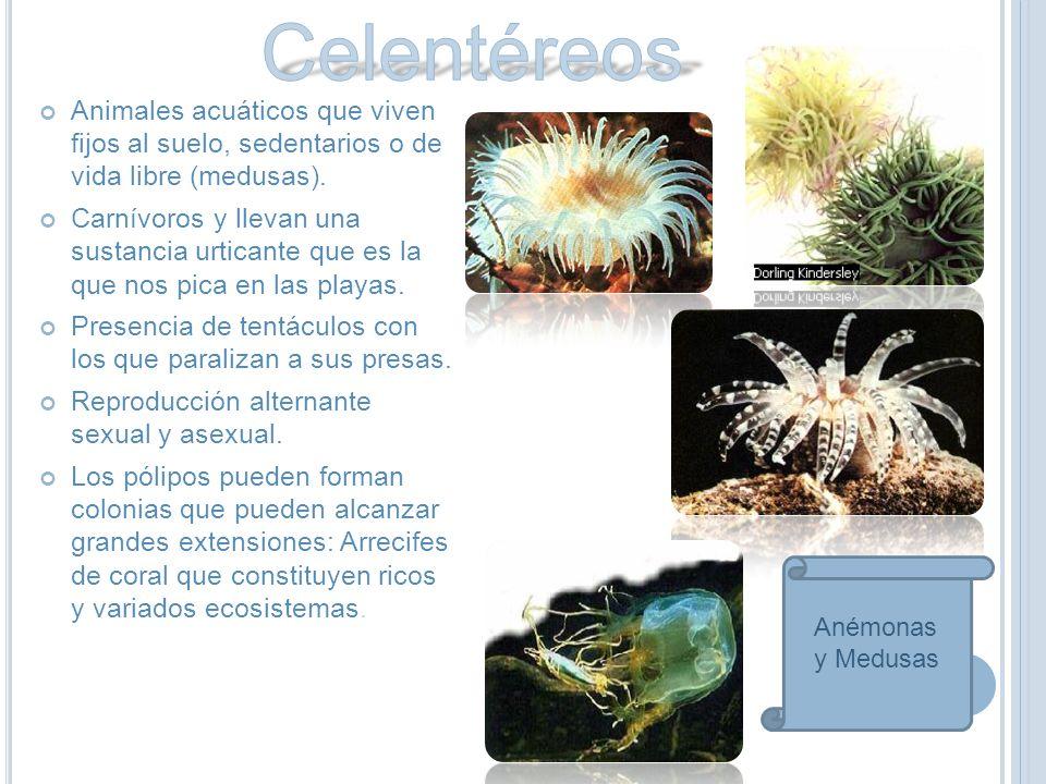 Celentéreos Animales acuáticos que viven fijos al suelo, sedentarios o de vida libre (medusas).