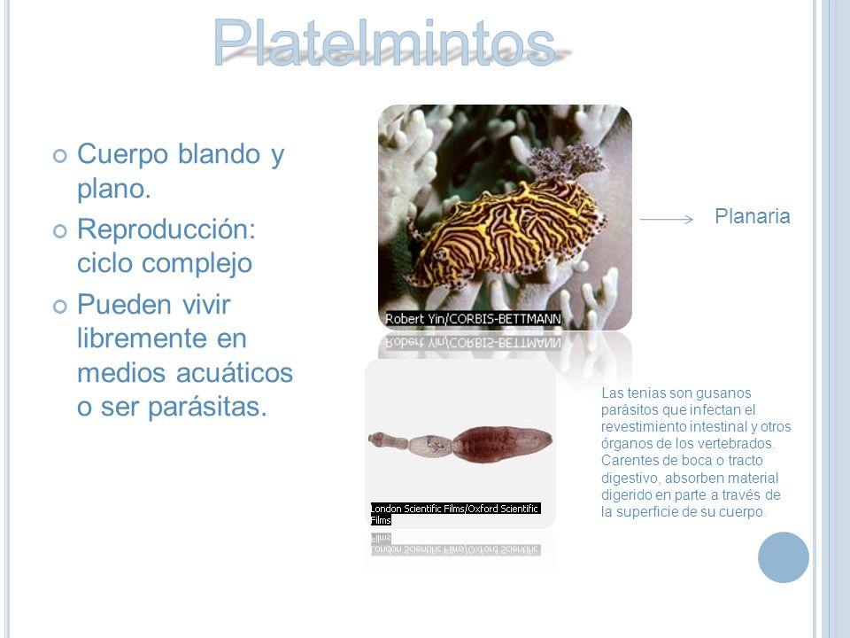 Platelmintos Cuerpo blando y plano. Reproducción: ciclo complejo
