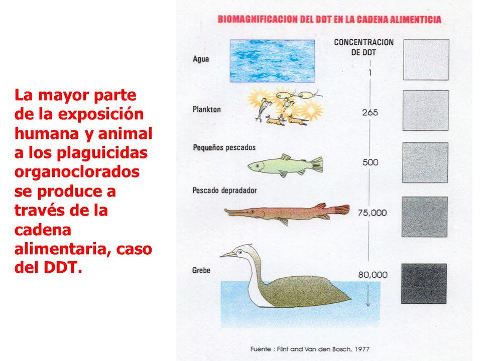 La mayor parte de la exposición humana y animal a los plaguicidas organoclorados se produce a través de la cadena alimentaria, caso del DDT.