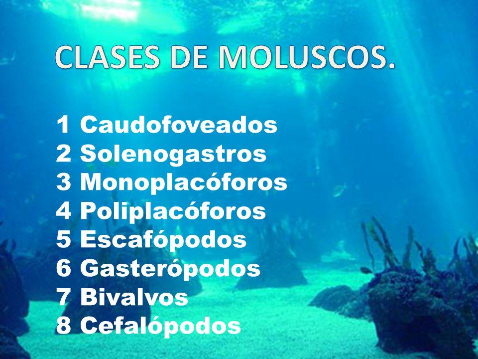 CLASES DE MOLUSCOS. 1 Caudofoveados 2 Solenogastros 3 Monoplacóforos
