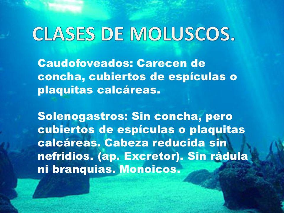 CLASES DE MOLUSCOS. Caudofoveados: Carecen de concha, cubiertos de espículas o plaquitas calcáreas.